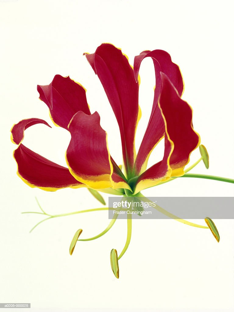 Red and Yellow Flower : Stock Photo