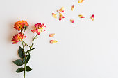 Directly above view of red, orange and yellow roses with scattered petals on white background