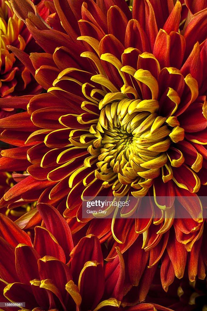 Red and yellow spider mum flower : Stock Photo