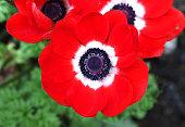 red Anemone coronaria flower red white