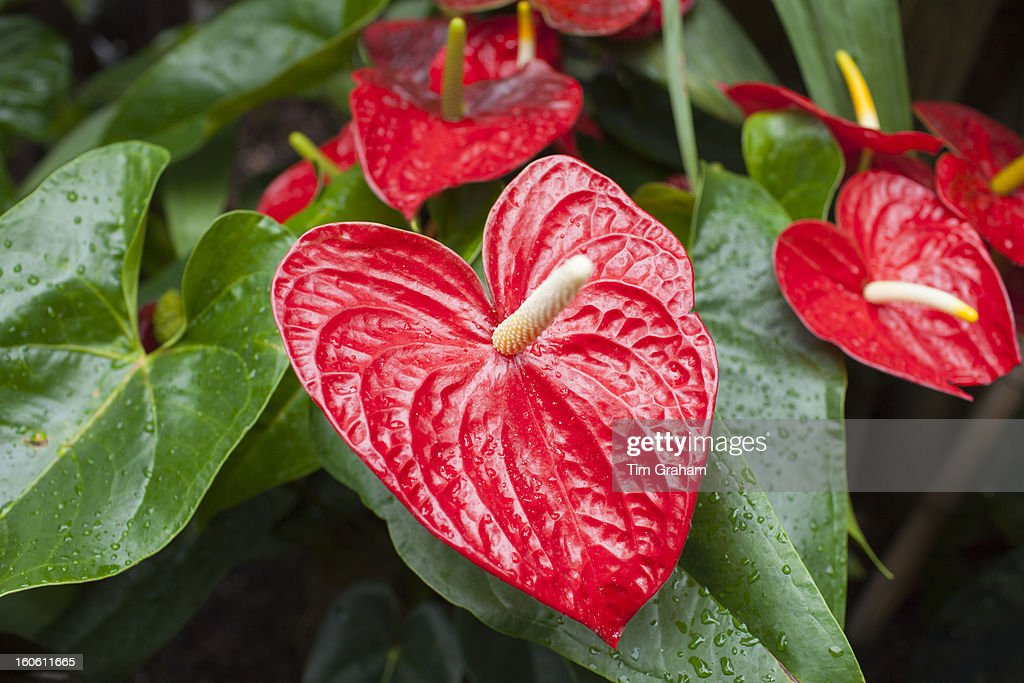 Red Anthurium Tropical Plant : Stock Photo