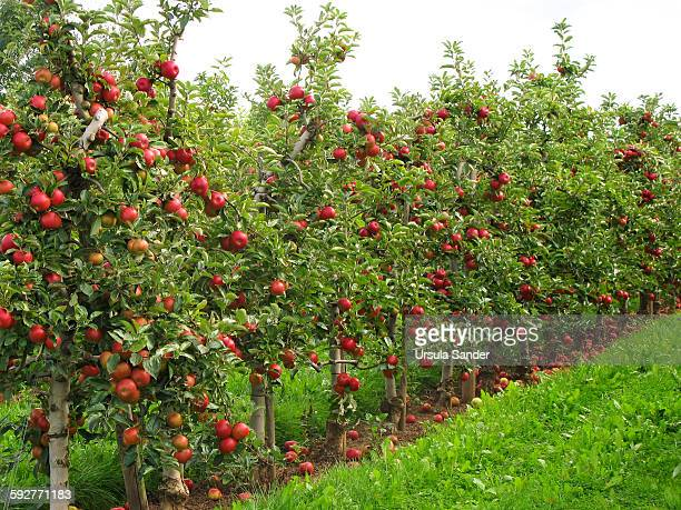 Red apple trees in row
