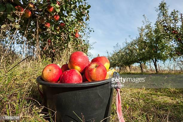Rote Äpfel in einem Eimer