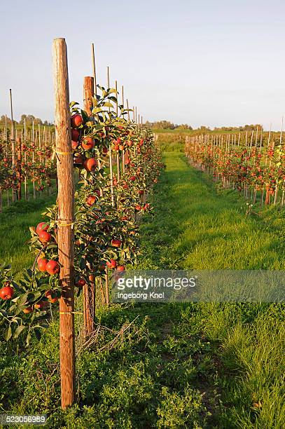 Red apples -Malus domestica- growing in an apple orchard, Altes Land region, Germany, Europe