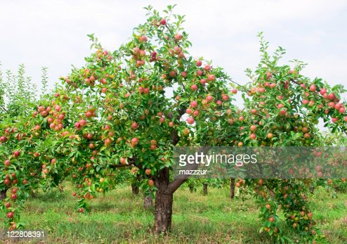 Red apples on apple tree branch : Stock Photo