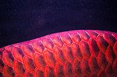 Red Arowana Dragon Fish