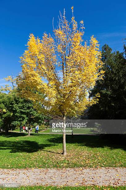 Red ash (Fraxinus pennsylvanica 'Summit'), park on the river Oos, Lichtentaler Allee, Baden-Baden, Baden-Wuerttemberg, Germany, Europe