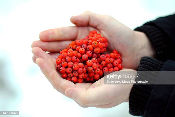 Red ashberry in human's hands