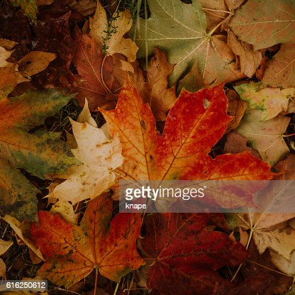 Red autumn leaves : Stock Photo