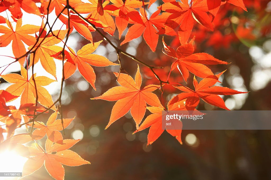 Red Autumn Maple leaves : Stock Photo