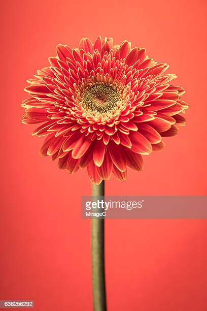 Red Barberton Daisy Flower on Orange Background