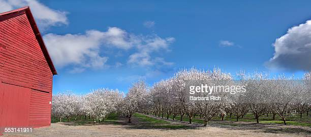 Red barn and almond orchard in bloom