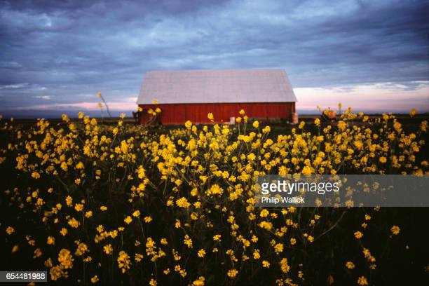 Red Barn and Yellow Wildflowers