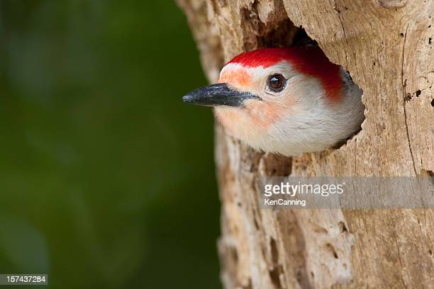Red Bellied Woodpecker in tree cavity nest