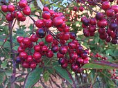 bright red cherries on the tree looking at a blue sky