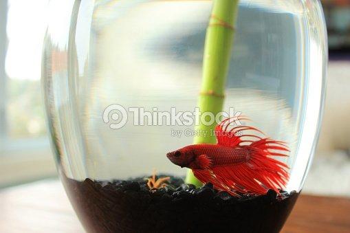 Red Betta Fish In Glass Vase With Bamboo Shoot Stock Photo Thinkstock