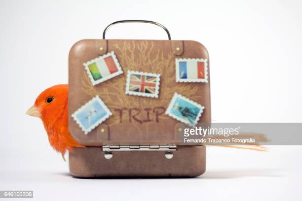 Red bird inside a suitcase incubating its eggs in the nest