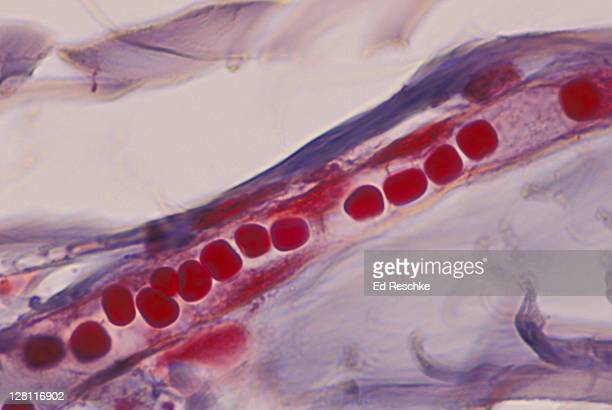 Red blood cells in capillary in human scalp, in single file. Shows epithelium. 400x at 35mm