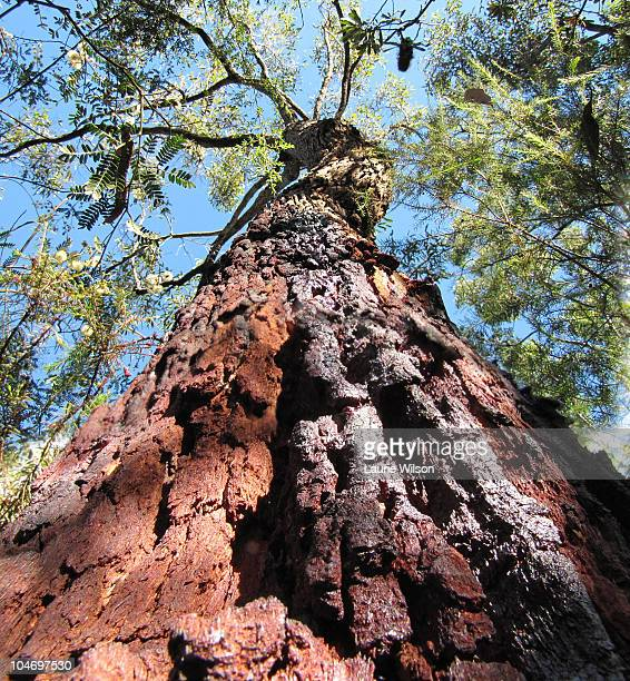 Bloodwood Tree Stock Photos And Pictures Getty Images