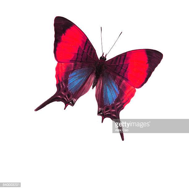 Red Blue Butterfly