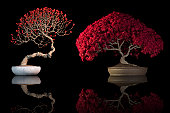 Bonsai tree with red leaves and flowers isolated on a black background with reflection