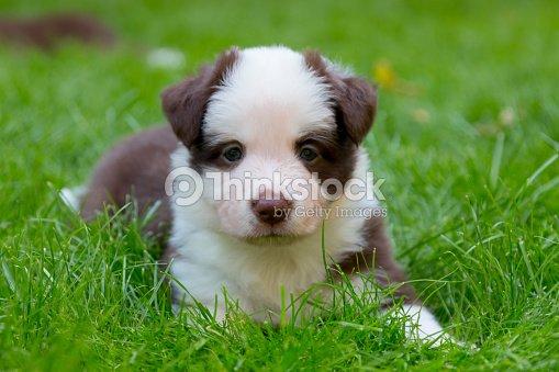 Red Border Collie Puppy Stock Photo Thinkstock