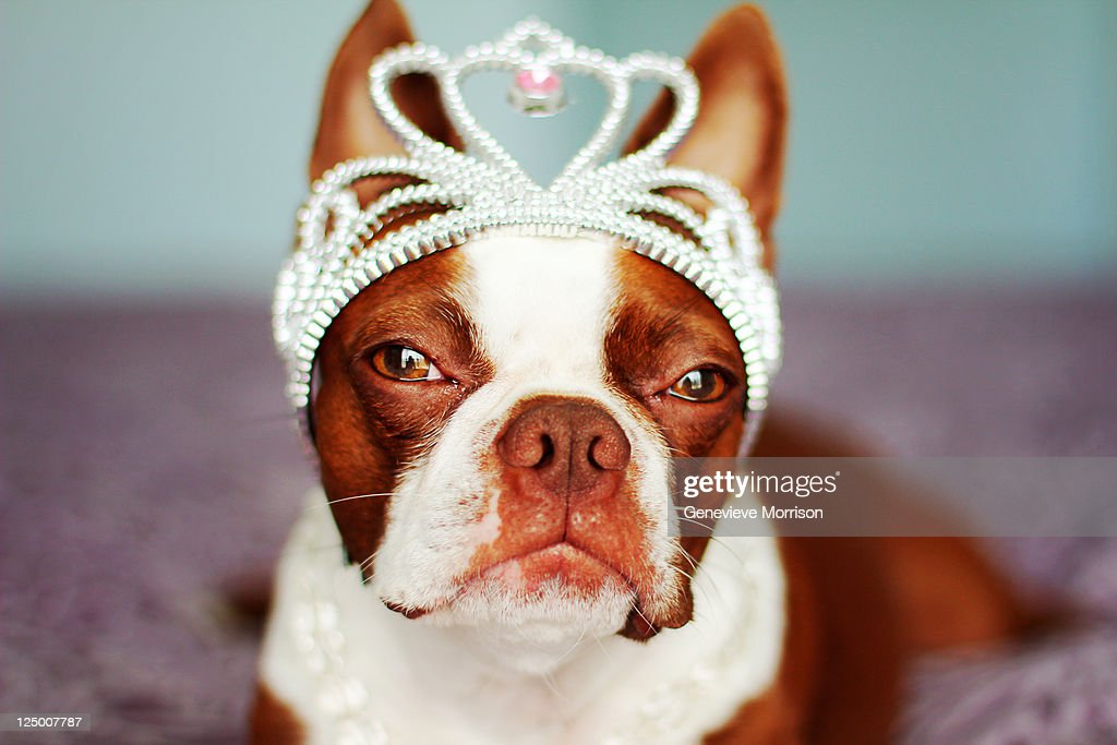 Red boston terrier wearing crown on her head : Stock Photo