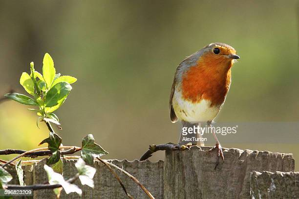 Red breasted robin on a fence
