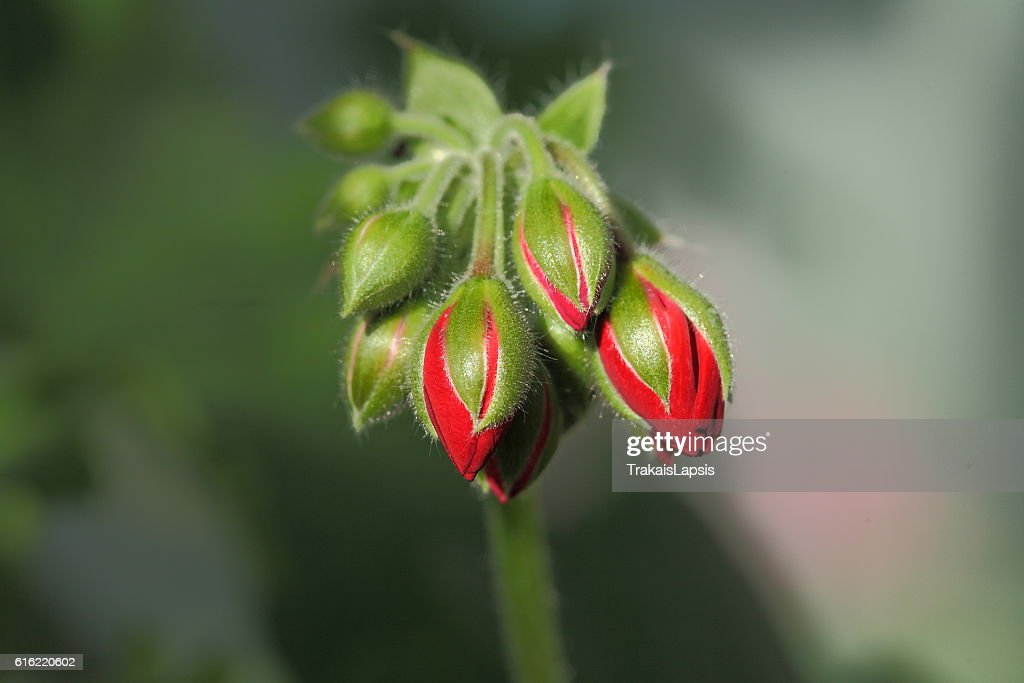 Red buds : Stock Photo