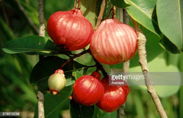 Red bush apples Syzygium suborbiculare can be eaten raw juice from cooked fruits taken for respiratory ailments fruit pulp applied to sore ears Top...