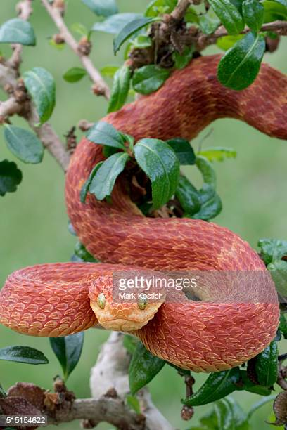 Red Bush Viper Descending from Tree
