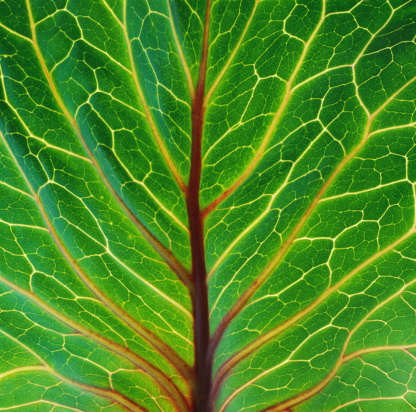 Red Cabbage Stock Photos and Pictures | Getty Images