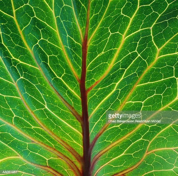 Red cabbage leaf, detail