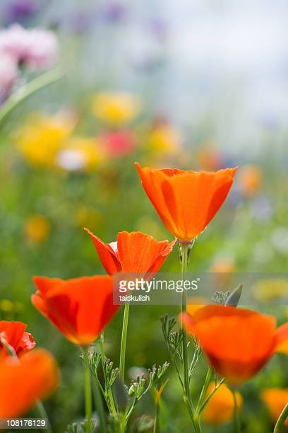 red california poppies