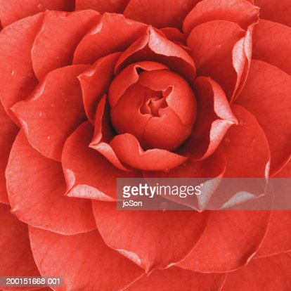 Red camellia (Camellia japonica), detail : Stock Photo