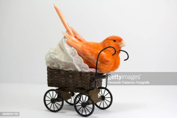 Red canary makes the nest and incubates eggs in a baby carriage
