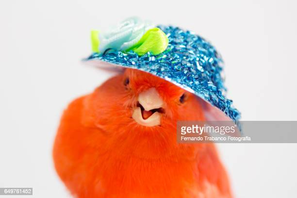 Red canary with a blue hat of flowers on his head