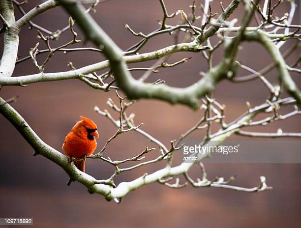 Red Cardinal Bird Perched on Bare Branches
