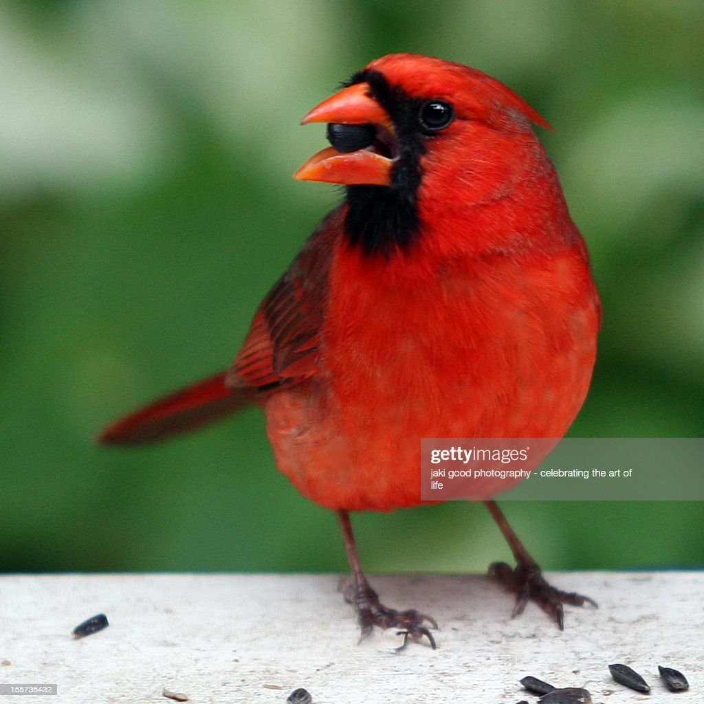red cardinal bird with seed stock photo getty images