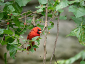 Red Cardinal Perched on a Tree