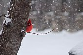 Bright red male Cardinal sitting in a branch during a snow storm in the Midwest with a blurred snowy background.