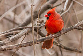 Northern Cardinal male portrait in sprng