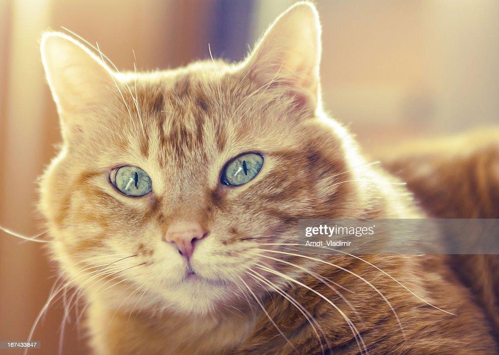 Rojo gato mirando a la cámara. : Foto de stock
