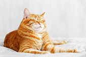 A ginger cat lays on the bed and sleeps with closed eyes and pulling out the front paws. Shallow focus and grey blurred background.