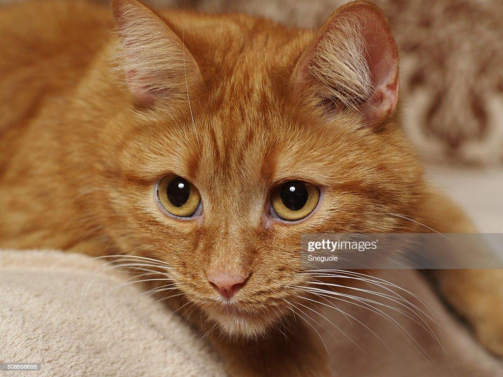 red cat : Stock Photo