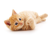 Red cat isolated on a white background.