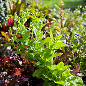 Red chard and beet green beetroot in the permaculture garden.