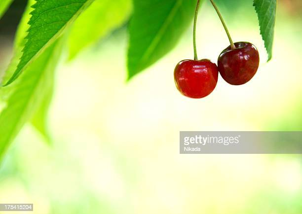 red cherry in a tree