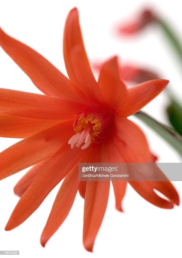 Red Christmas cactus blossom