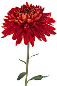 Red chrysanthemum flower closeup isolated on white background